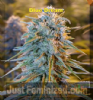 Humboldt Blue Dream Female 5 Marijuana seeds